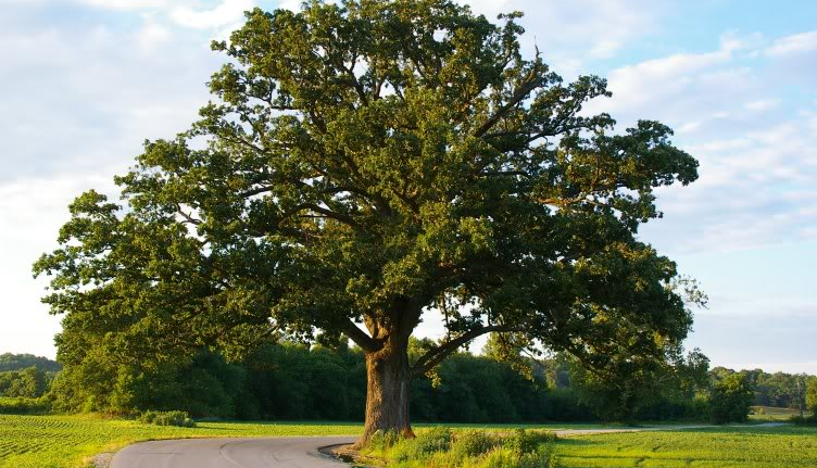 500 Trees for 500 Years – Bur Oak trees available free